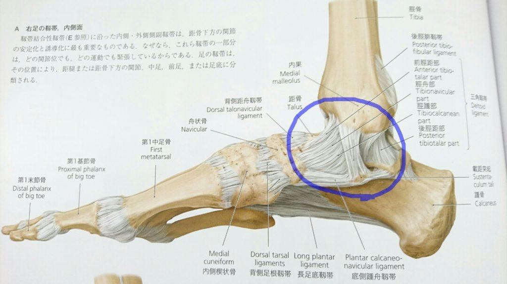 三角靭帯のイラスト