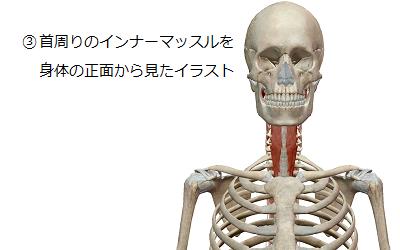 首周りのインナーマッスルを身体の正面から見たイラスト