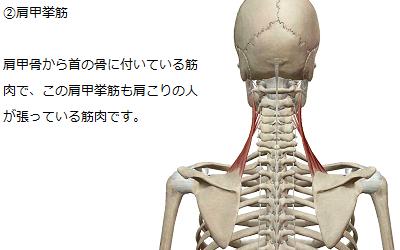 肩甲挙筋のイラスト
