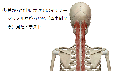 首から背中にかけてのインナーマッスルを身体の後ろ(背中側)から見たイラスト