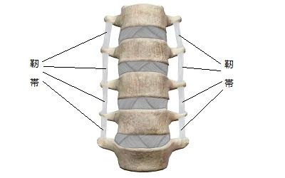 正常な背骨と靭帯