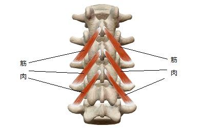 正常な背骨とインナーマッスル