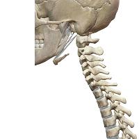 インナーマッスルが機能している場合の背骨