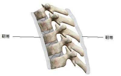 正常な背骨の靭帯