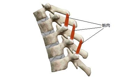 正常な背骨の時の筋肉(インナーマッスル)