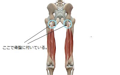 大腿二頭筋・半腱様筋・半膜様筋のイラスト