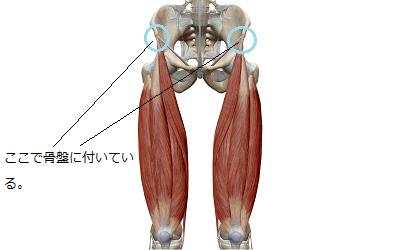 大腿四頭筋と縫工筋のイラスト