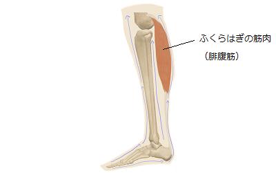 ふくらはぎの筋肉がきちんと機能し、足から血液がスムーズに流れている様子