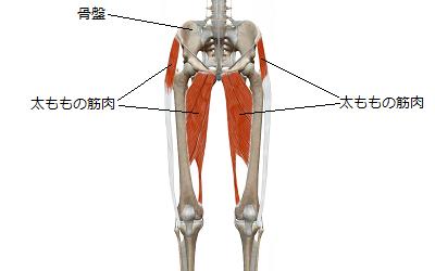 正常な状態の太ももの筋肉