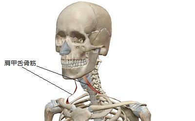 肩甲舌骨筋のイラスト